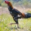 天然記念物日本鶏品評会