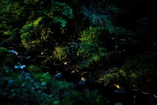 祇園川のゲンジホタル